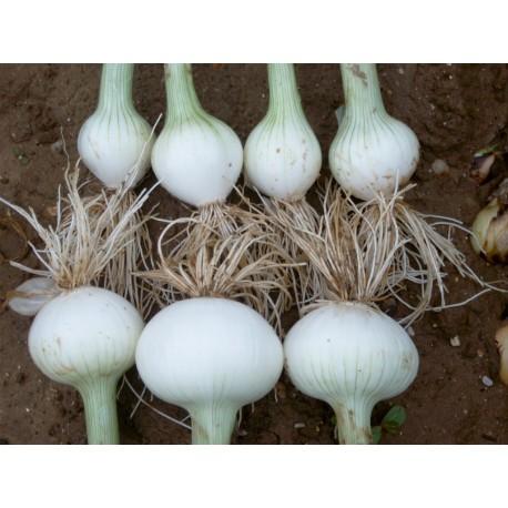 Cebolla toluca adolfo sainz protecci n vegetal for Viveros en toluca